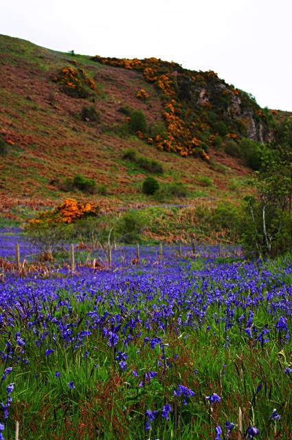 Bluebells on the Rosemarkie coast