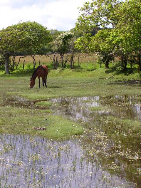 Pony grazing on waterlogged ground, Pylewell