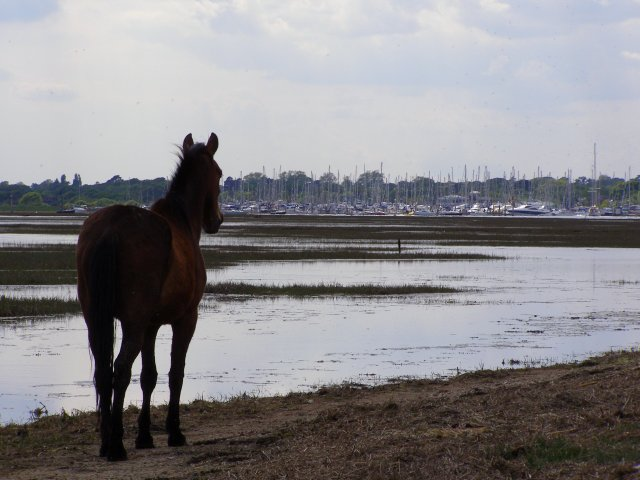 Pony on the Solent shore south of Lisle Court