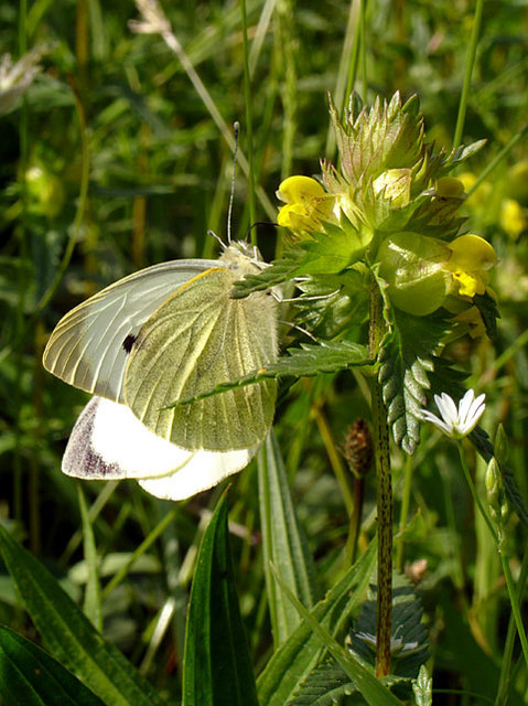 Large White Butterfly on Hay Rattle