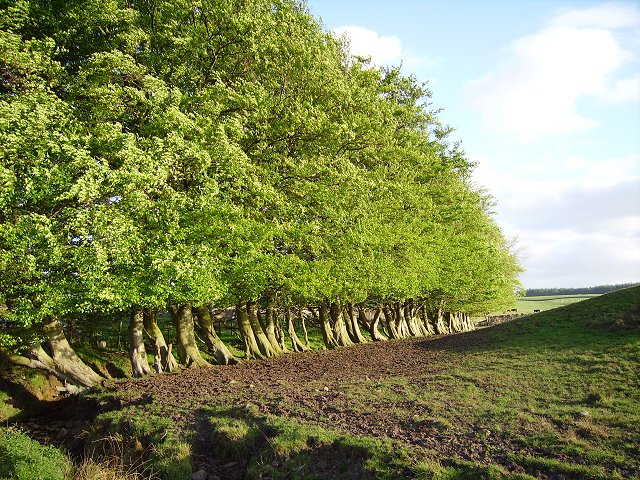 Grown out beech hedge
