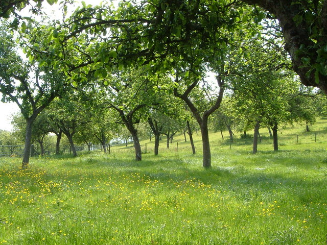 Orchard near Whimple