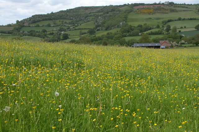 Field of Buttercups, The Bage