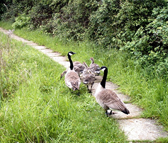 Canada Geese - Family at Hockley Angling Club