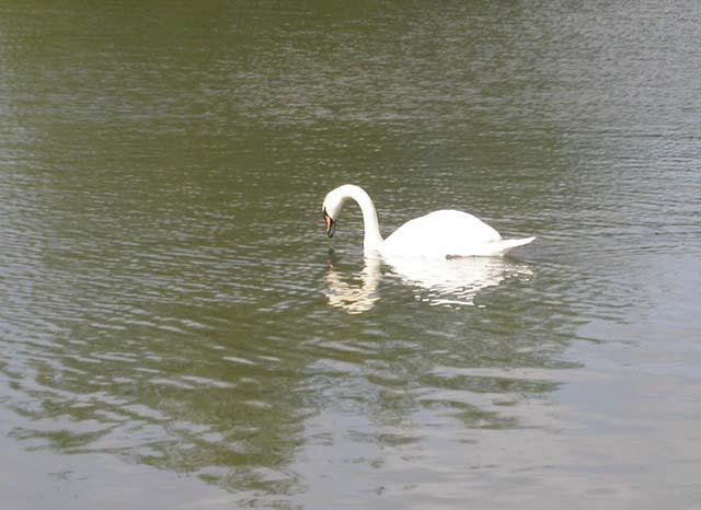 Swan on the River Nene