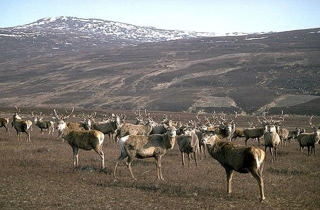 Red deer in Glen Luibeg