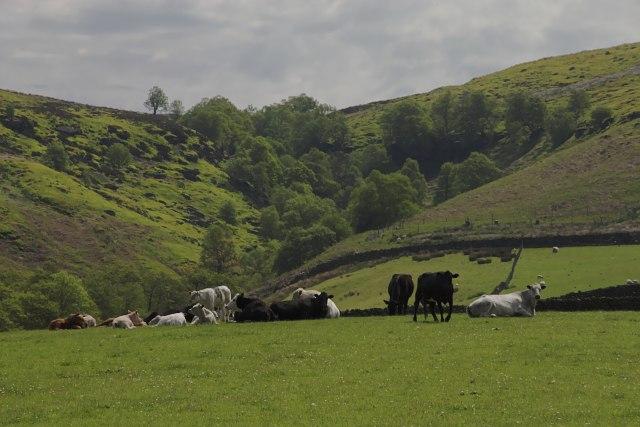 Suckler Cattle at Waites House Farm