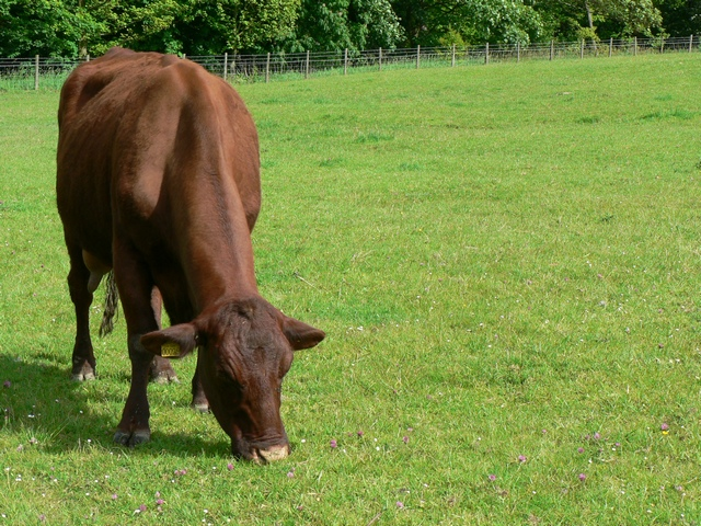 Red Poll cow, Temple Newsam