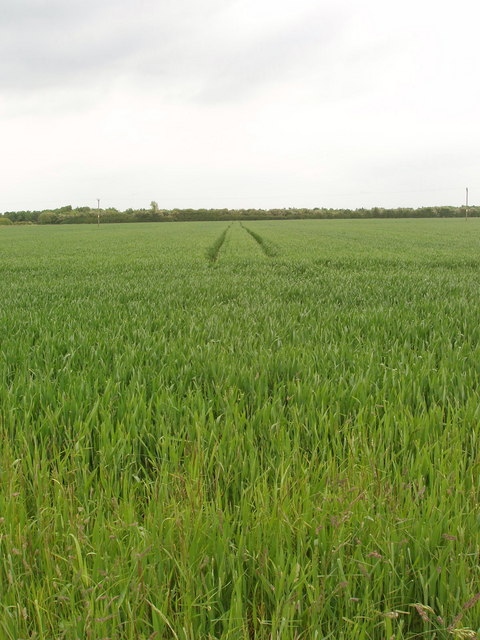 Growing wheat near Fencott