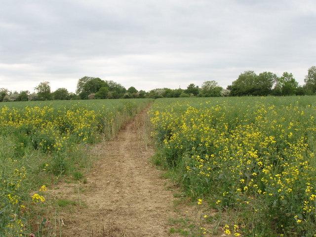 Footpath through field of rape, Murcott