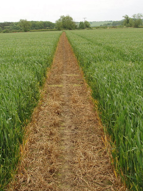 Footpath through growing wheat, Murcott
