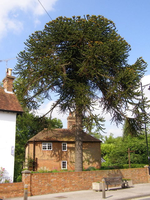 Monkey Puzzle tree on Lyndhurst High Street, New Forest