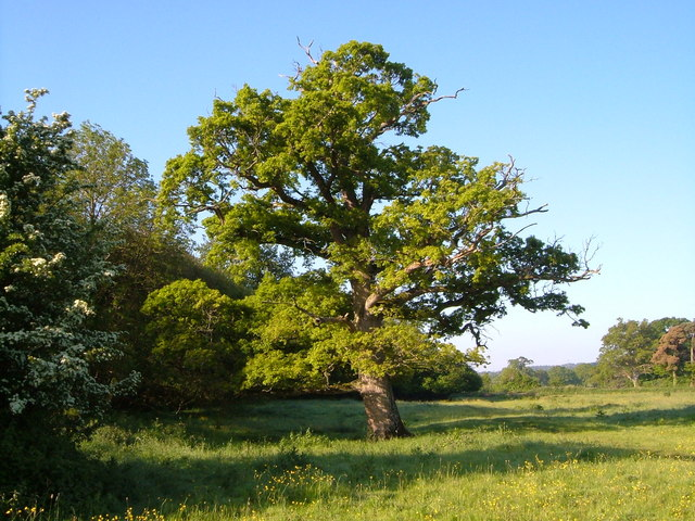 Oak near River Tale