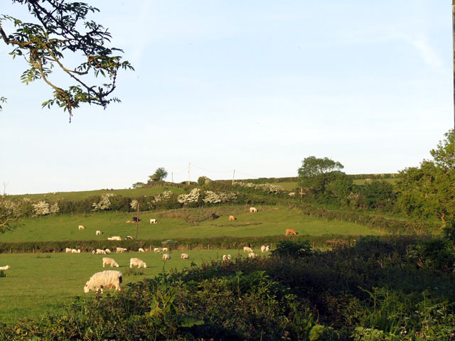 Sheep and cattle grazing