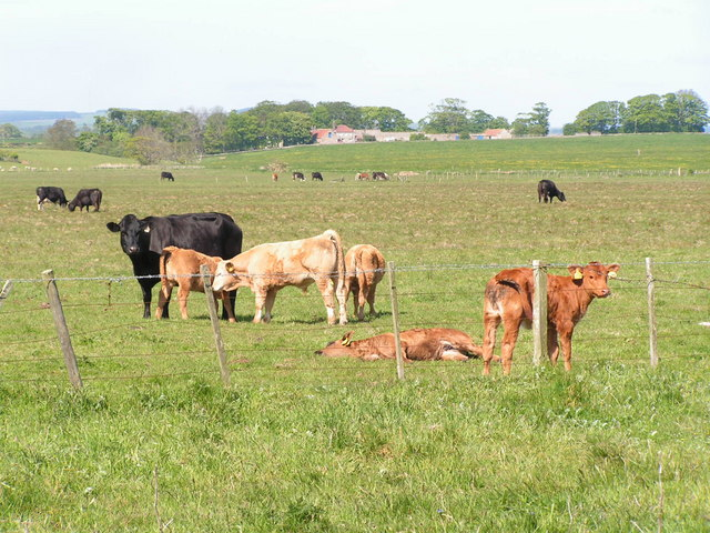Young cattle and their mothers