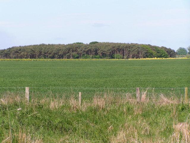 Wheat field & woodland