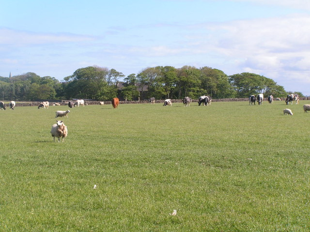 Cattle & sheep grazing