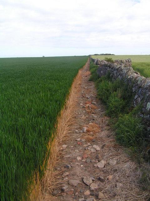 Footpath by a wheat field