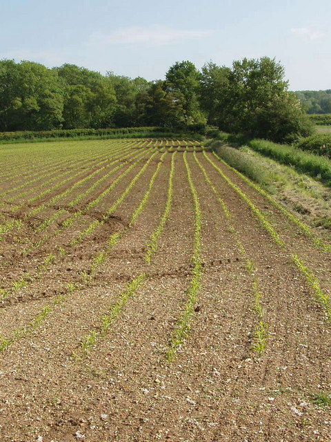 Maize seedlings near Tiddington