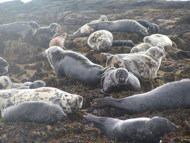 Atlantic Grey Seals on Longstone Island