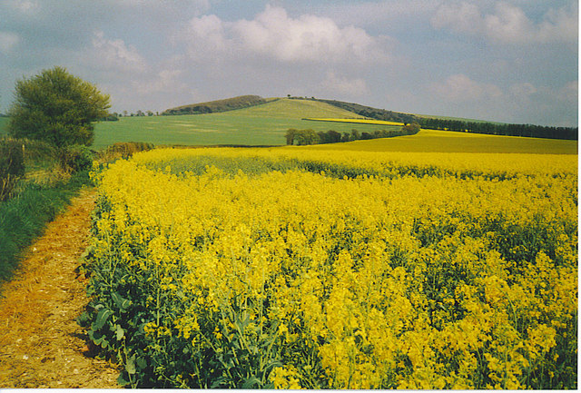 Oilseed Rape in Bloom.