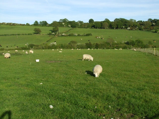 Sheep grazing near to Pentraeth