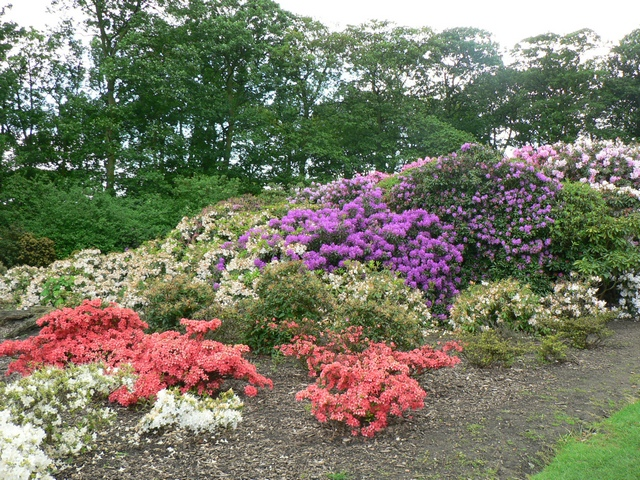 Rhododendrons and Azaleas, Temple Newsam