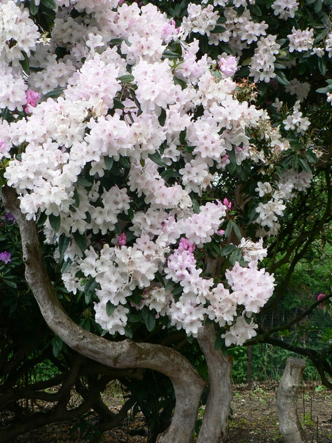 Rhododendron, Temple Newsam