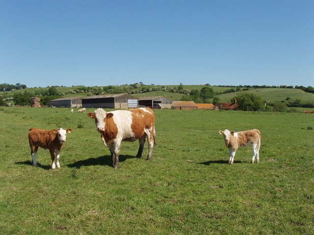 Cow and calves at Oakcroft Farm, near Boarstall