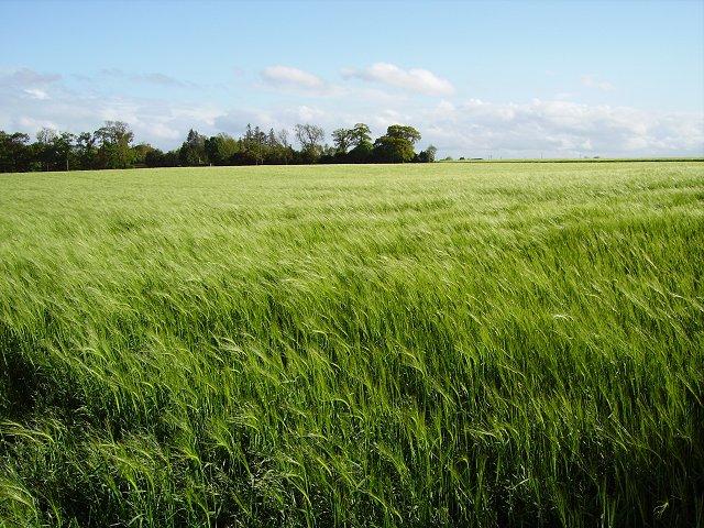 Barley, Dunmore