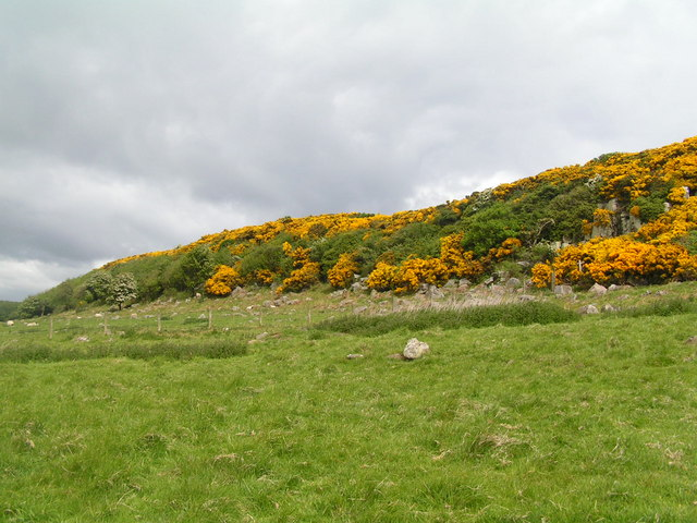 Gorse on The Heugh