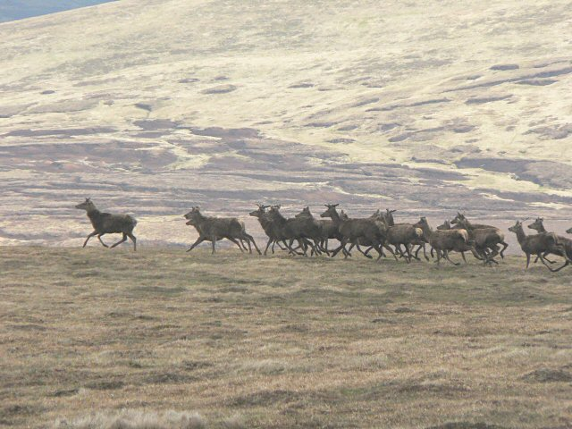More red deer