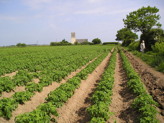 Norfolk potato field