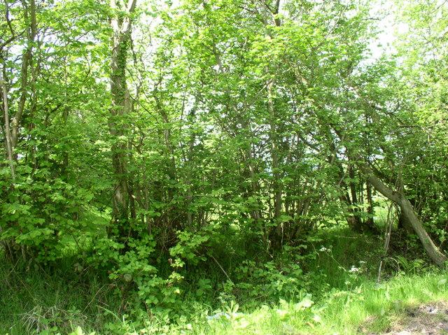 Coppice Hedge