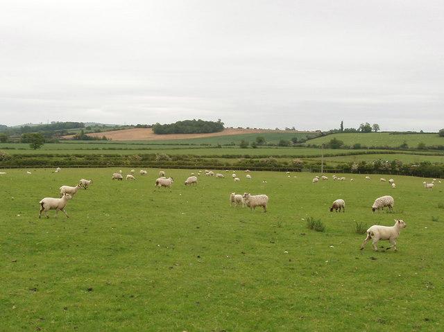 Sheep, Horton-cum-Studley