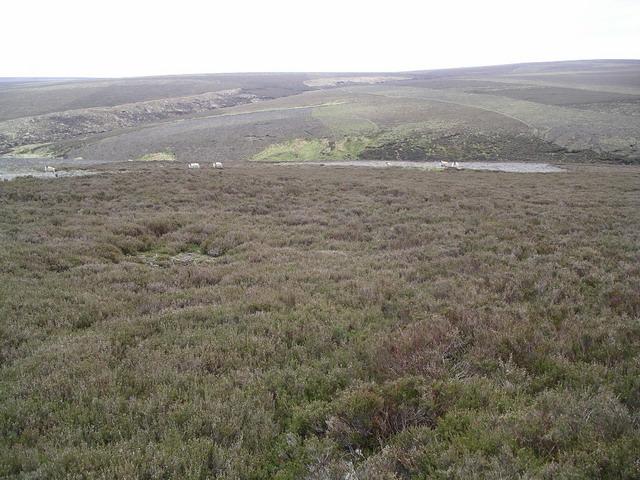Lammermuir heather 4
