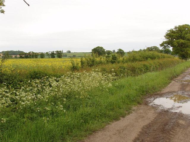 Ragnall's Lane and rape field, Horton-cum-Studley
