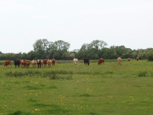 Cattle on Otmoor
