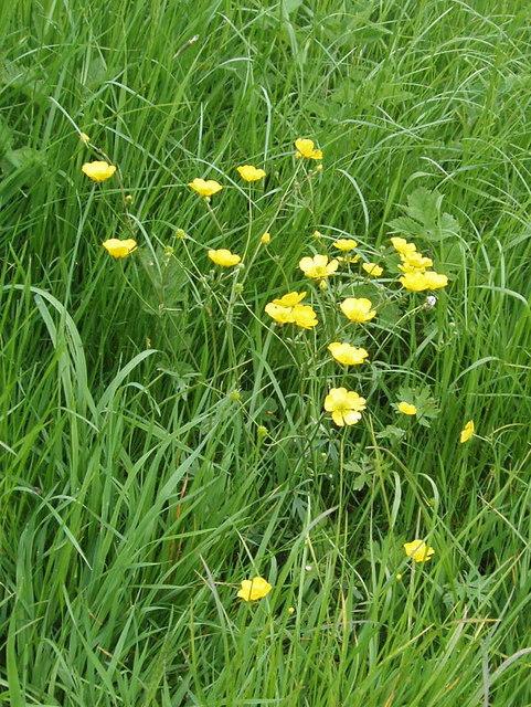 Buttercup on Otmoor