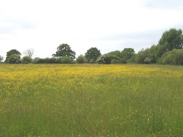 Pasture with buttercups on Otmoor