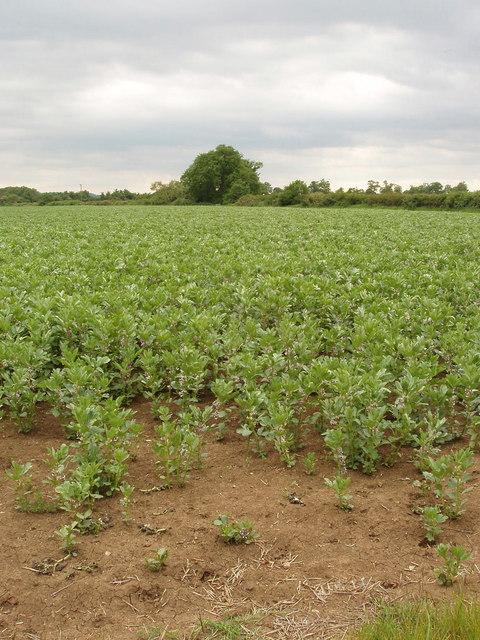 Field of broad beans, near Murcott