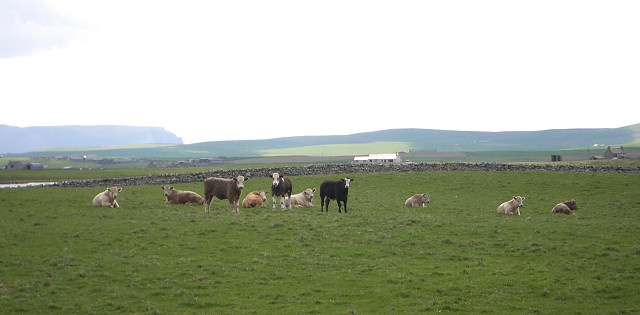 Cattle by the A986