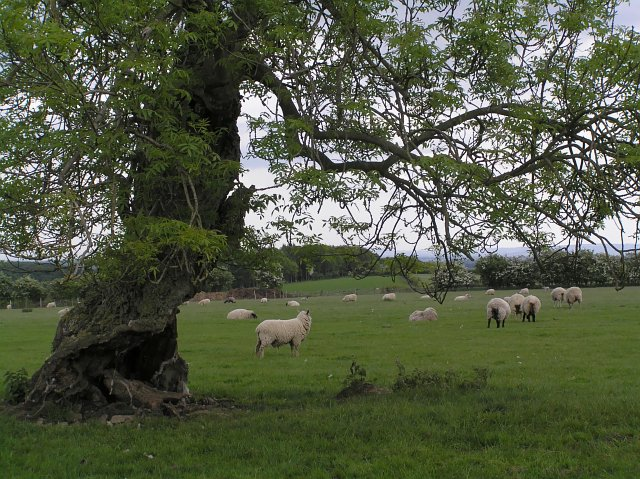 Sheep grazing near Skiplam Grange