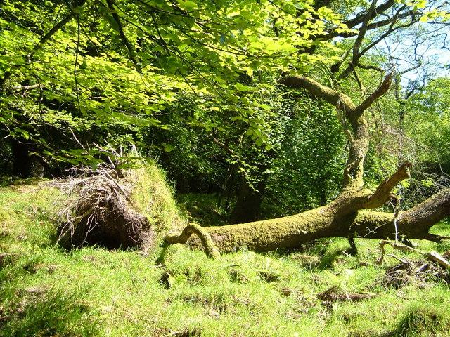 Fallen tree, Erme valley