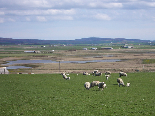 Sheep on low lying pasture