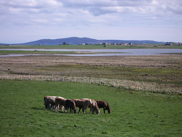Cattle, The Loons nature reserve