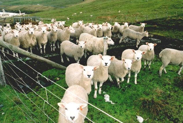 Sheep at Colla Firth