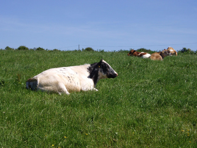 Cows resting near Trevider