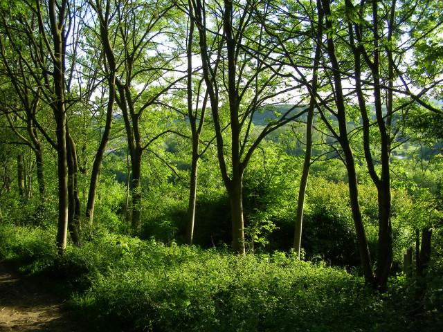 Ash woodland on Twyford Down