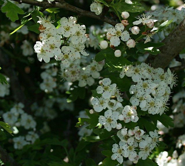 Hawthorn Blossom - Crataegus monogyna